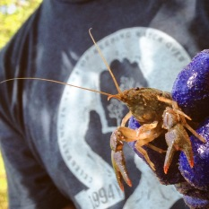 Closeup with a Proctor Creek crayfish