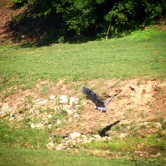 Frogs beware! This blue heron caught one for lunch from a Proctor Creek tributary in the Center Hill neighborhood