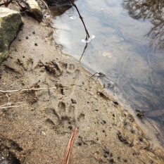 Raccoon tracks along Proctor Creek near Boyd Elementary School